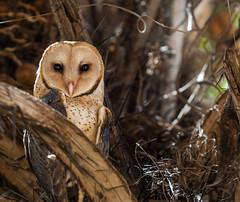BARN OWL (Costa Rica Nature & Astro Photo) Tags: nature birds costarica wildlife birding aves birdwatching barnowl tytoalba canonrebelxti birdsofcostarica avesdecostarica beltranlara
