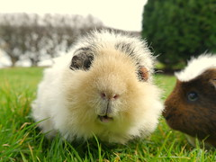 Griff 2, 15 Mar 15 (Castaway in Scotland) Tags: pet cute animal scotland guinea pig cavy rodent north adorable east berwick lothian