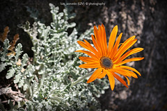 Like The Sun (lzvphotography) Tags: orange sun flower colour detail portugal nature canon europe powerful 700d luisazevedophotography lzvphotography