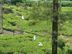 Tea-picking near Kandy (Dunnock_D) Tags: trees tea srilanka bushes teapicking