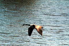 One lone goose in flight across the pond. (kennethkonica) Tags: usa white nature water birds animals canon outdoors fly geese wings movement nikon midwest action random indianapolis flight feathers indy indiana goose batman marioncounty kennethkonica nikond7100