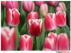 Keukenhof March 22th 2015 tulipsinholland.com 10 (nring23) Tags: park flowers flower holland netherlands amsterdam festival bulb march spring tulips time tulip fields bulbs tulipfestival keukenhof the lisse 2015 tulipsinholland tulipsinhollandcom