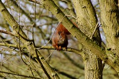 Squirrel (osto) Tags: denmark europa europe sony zealand scandinavia danmark slt a77 sjlland osto alpha77 osto april2015