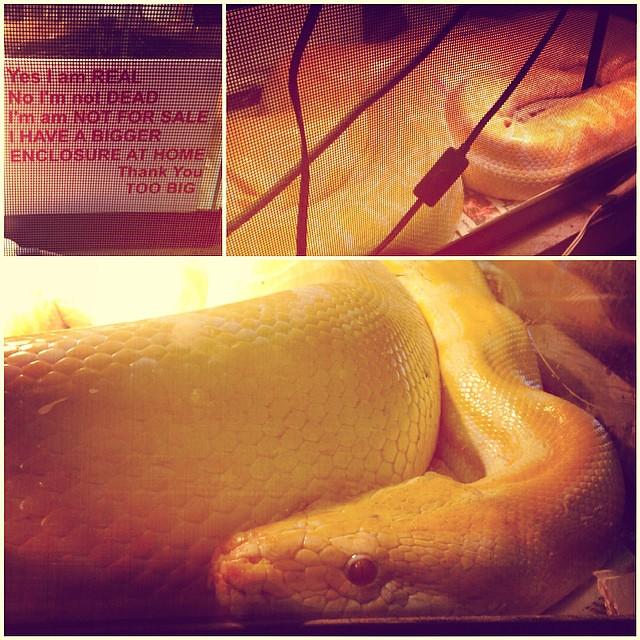flea market snake! 🐍 #albino #python #bigboy