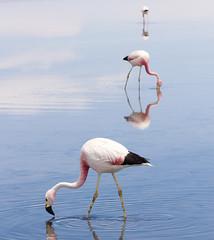 Flamingos on Laguna Chaxa, Reserva Nacional Los Flamencos, San Pedro de Atacama, Chile (maxunterwegs) Tags: chile chili flamingo casino sanpedrodeatacama salardeatacama antofagasta kasino losflamencosnationalreserve reservanacionallosflamencos