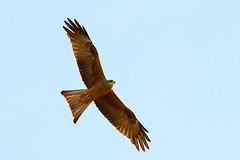 Black Kite (CampaspeBirdo) Tags: blackkite australianbirds 128 pinecreeknt