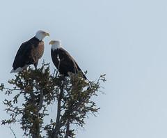 Eagles (nwtarcticrose) Tags: eagle bald nwt american raptor eagles raptors birdsofprey yellowknife baldeagles yzf