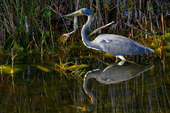tricolored heron reflected (robertskirk1) Tags: bird heron nature animal florida wildlife wetlands animalplanet planetearth viera tricolored defendersofwildlife fantasticnature vierawetlands slbhunting
