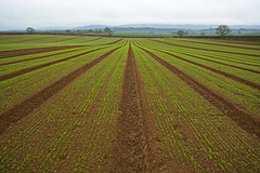 Seedlings and fields near Petworth, Sussex (Simon Verrall) Tags: uk field landscape sussex westsussex outdoor farm farming growth soil april agriculture seedlings plough midhurst petworth 2015 tillington saladcrops