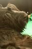 (kmkota) Tags: puppy puppies birth scottie scottishterrier perhaps ♥ whelping scottiedog givingbirth skotlanninterrieri snooki scottiepuppies scottishterrierpuppies perhapssnooki thescottiedog scottiesnooki snookiscottie snookiis