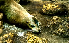 SEA LION (VERY GIORGIOUS) Tags: latinamerica southamerica islands ecuador lomo galapagos sealion