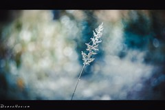 Dreaming up nature... (tuanduongtt8018) Tags: flowers white sony vietnam helios 44m6