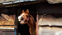 Horse talk ... (Sandalwood19) Tags: horse chestnut warwickshire stables arabie horsetalk