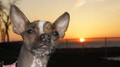 Beavis aka BatDog Lake Erie Sunset (Paul Klekotta) Tags: sunset dog sun lake posing canine erie batdog