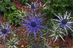 Sea Holly (GABOLY) Tags: england floral gardens kent july platt 2016 williamdyson greatcompgarden salviacollection