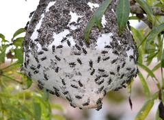 Wild Bee's Nest high in the canopy - Ecuadorian Amazon Rainforest. (One more shot Rog) Tags: ecuador rainforest nest wildlife bees centre sting bee wasps stings waspwile beesamazonrainforestamozon beesnaponapo
