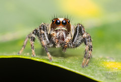Las mejores modelos. (Juan Diego Q U) Tags: saltarina araa ojos eyes arcnido spider jumper macro macrofotografa hoja animales vida
