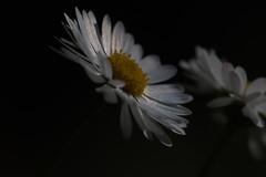 Daisy (Geonaut) Tags: se schweden daisy gnseblmchen saltsjbaden