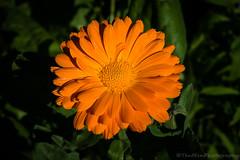 Orange flower (jasonmgabriel) Tags: orange flower macro nature petals