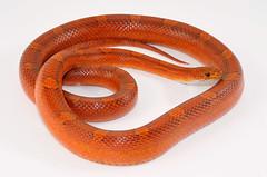BigRed-7-19-2016 (herpsofnm) Tags: corn snake banshee cornsnake bigsam bloodred
