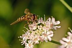 Stehfliege (DianaFE) Tags: dianafe insekt fliege blume pflanze tiefenschrfe schrfentiefe makro freihandmakro