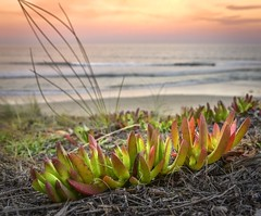 Succulent (phunnyfotos) Tags: phunnyfotos australia victoria vic surfcoast beach sea ocean coast coastal coastline shore shoreline plant colour foliage succulent pigface color sunset dusk twilight evening nikon d750 nikond750 waves seaside seashore torquay pointimpossible