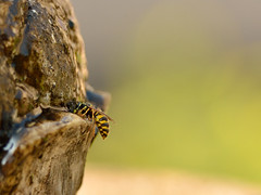 The zoo in my garden - wasp (Alexander Adema) Tags: the zoo garden wasp emmen wesp home thuis tuin insect animal dier