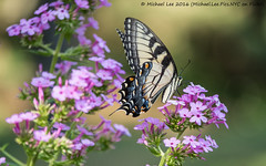 Eastern Tiger Swallowtail (P7240797) (Michael.Lee.Pics.NYC) Tags: newyork nybg newyorkbotanicalgarden butterfly easterntigerswallowtail insect flower feeding nectar bokeh wings olympus em5 markii mkii lumix100300mm