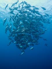 Jack Vortex (altsaint) Tags: fish jack underwater redsea egypt panasonic hurghada gf1 714mm