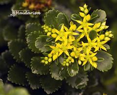 Layers (haidarism (Ahmed Alhaidari)) Tags: layers yellow flower bud plant bokeh outdoor nature depthoffield sonya65 macro macrophotography green leaf