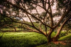 Parque Cidade de Toronto (rvcroffi) Tags: park parque brazil tree nature grass brasil afternoon sopaulo natureza calm grama serenity arvore hdr entardecer tranquillity parquecidadedetoronto parquetoronto