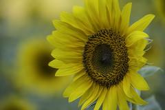 ASF 16-861 (Carolina explorer photographer) Tags: ga outdoors sunflowers farms cumming outdoorsphotography andersonsunflowerfarm charleskhardinphotography charleshardin httpswwwfacebookcomchardinphotography enjoyingthegreatoutdorrs