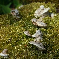 Kleine Finnen - Little Finns (honiigsonne) Tags: mushrooms fungi moss green wood flora forest garden plant nature botany pilz pilze pfla moos grn wald baumpilz natur botanik makro schrfentiefe outdoor organisch