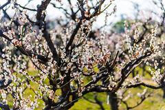 _DSC3708 (Arthur Hsieh) Tags: 2016 nikon d750  japan  osaka     plum
