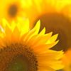 glowing ! (ewaldmario) Tags: burgenland jois sonnenblumen sunflower ewaldmariocom yellow flower glowing light strahlend crop flowers macro nikon closeup micro nikkor petals contraluce girasole gegenlicht lightening bright dof bokeh blume pflanze plant fiori flores österreich austria field luminoso makro