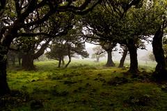Fanal III (Signorina Z) Tags: fanal madeira laurisilva lorbeerwald lorbeerbaum natur nebel nature wood forest bay tree fog mist