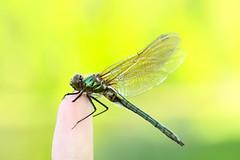 Dragonfly (Ariel VA Feinerman) Tags: nature animal invertebrate insect dragonfly macro canon eos 50d tamron tamron2875mmf28 spring