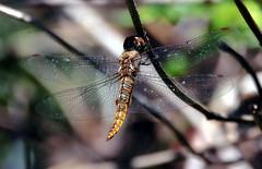 Pantala hymenaea (TJ Gehling) Tags: insect odonata anisoptera dragonfly skimmer libellulidae glider gliderdragonfly spotwingedglider pantala pantalahymenaea canyontrailpark elcerrito