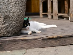 Cat of Insa-dong (Travis Estell) Tags: cat korea seoul insa southkorea jongno insadong straycat blackandwhitecat republicofkorea jongnogu