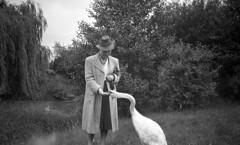 One swan (Arne Kuilman) Tags: germany 6x9 mediumformat 1930s thirties europe blackandwhite photonotmine maxmller ldenscheid swan zwaan swans