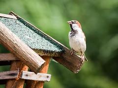 160710_152903_P3740786.jpg (millipod) Tags: birds mus sparrow spatz lelystad flevoland netherlands