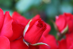 rose (marti.labruna) Tags: maranatha photography picture canon 1200d eos colours colorful exposure summer flower macro rose red