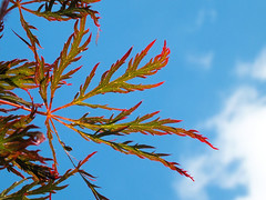 Sky-Tree (beimpressed) Tags: ahorn red maple sky sun sonne himmel blau color wave dream traum wolke