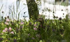Batifoler dans les prs ....! (Elyane11) Tags: herbes fleurs prs canard cane oiseaux