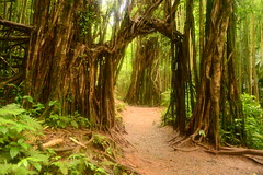 Banyan Trees on the way to Manoa falls, Oahu, Hawaii (Damon Tighe) Tags: trees architecture forest hawaii arch path falls trail jungle banyan manoa