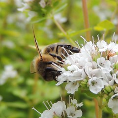 Photo of Honeybee, Sandy, Bedfordshire