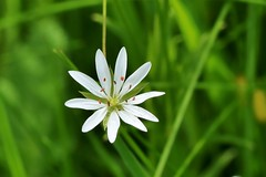 lesser stitchwort (Suzie Noble) Tags: lesserstitchwort wildflower flower undergrowth strathglass struy