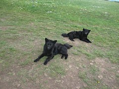 Twin black watchdogs at Vidikovac, Uvac Nature Reserve, Serbia (Paul McClure DC) Tags: uvac naturereserve serbia srbija zlatibor druinie vidikovac sjenica balkans may2016 animals dog