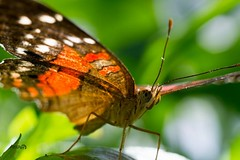 Butterfly , #upclose , #insect , #wings , #delicate , #fauna , #beautiful , #bokeh , #Park , #season , #summer , #Garden , #outdoor , #blur , #Exposure , #flora , #red , #Leaf , #Nature , #butterfly , #flower , #color , #Light , #composition , #interestin (jwzw@ymail.com) Tags: butterfly upclose insect wings delicate fauna beautiful bokeh park season summer garden outdoor blur exposure flora red leaf nature flower color light composition interesting photographer photography macro closeup bug spots