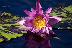 like a mirror (mariola aga) Tags: chicagobotanicgarden glencoe garden pond waterlily lily pink reflection mirror closeup thegalaxy